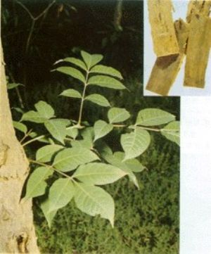 黄柏原植物及药材