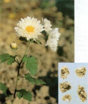 菊花原植物及药材