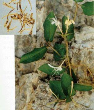 金銀花原植物及藥材