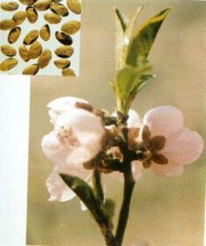 桃仁原植物及藥材