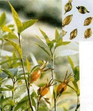 栀子的原植物及药材