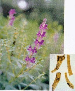 黄芩原植物及药材